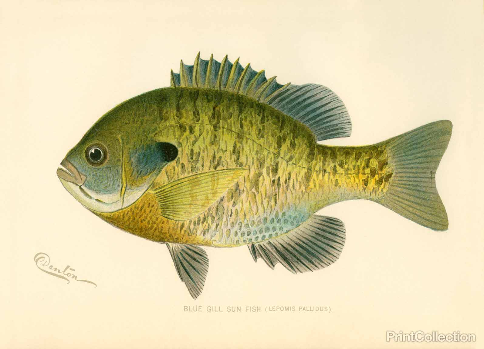 the bluegill or bluegulli occurs naturally in the united states east ...