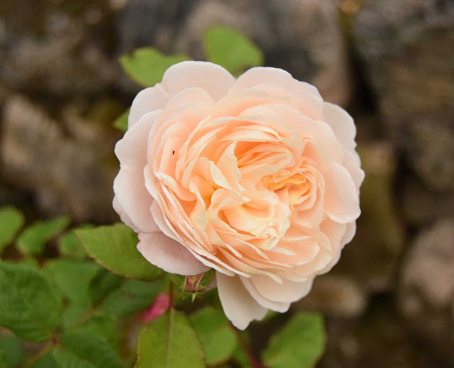 Crocus Rose - Austin