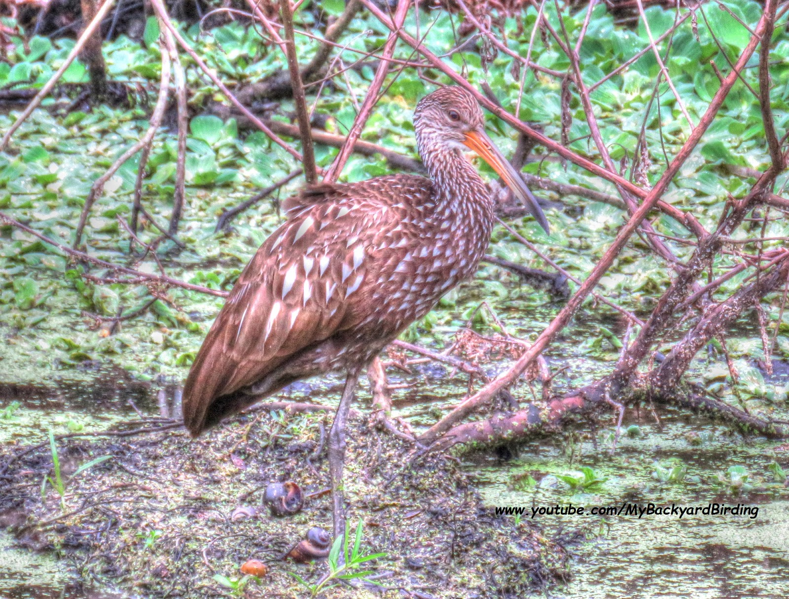backyard birding and nature limpkin with apple snails