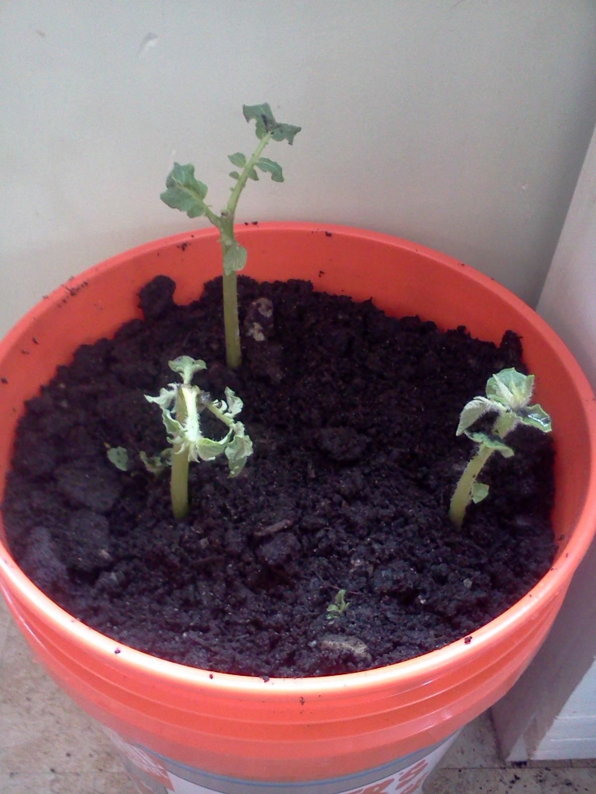 journey toward simplicity winter gardening growing potatoes