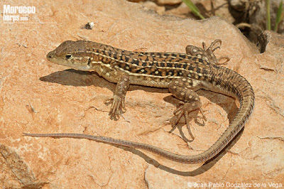 Fringe-fingered Lizard