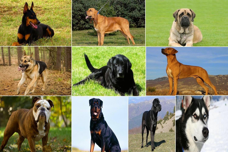 اقوى 10 كلاب حراسة حول العالم
