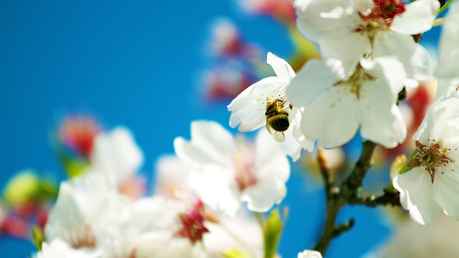 Bee on White Flowers