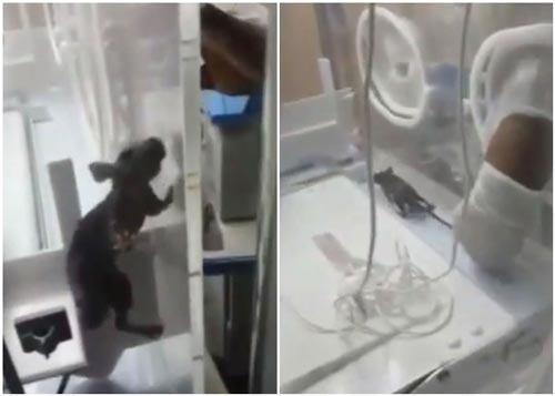 Bayi dalam Inkubator Digigit Tikus