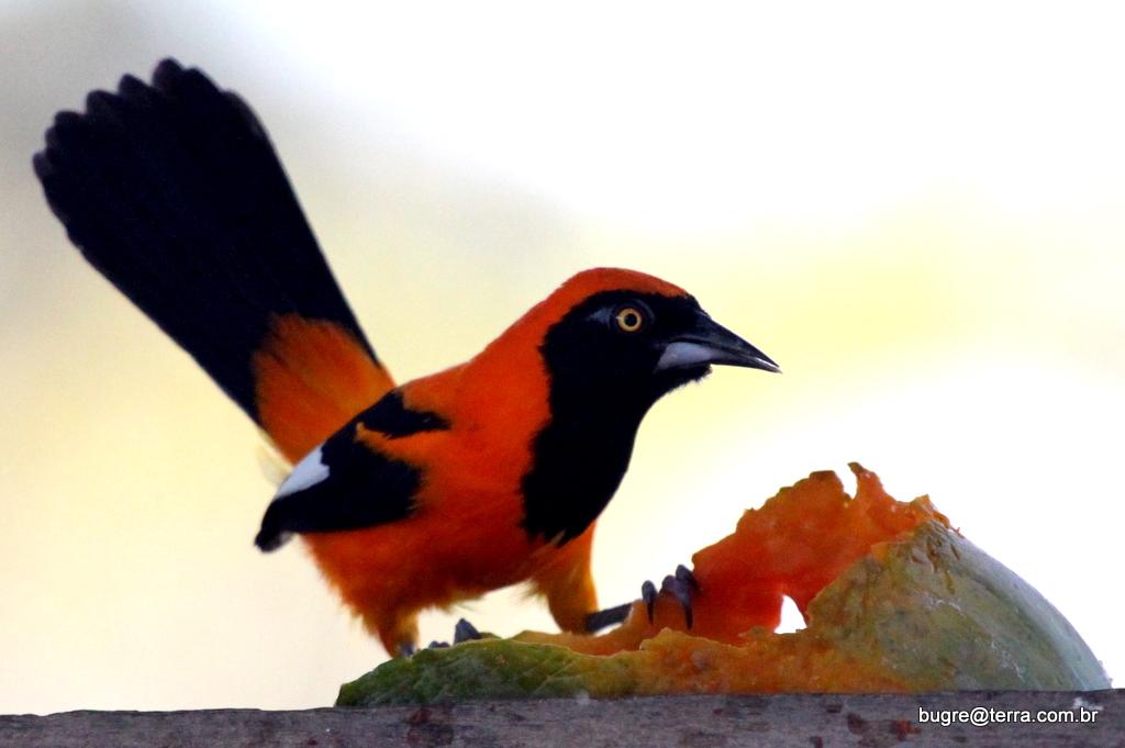 Aves Do Pantanal Marcelobugre Pássaros Pretos Corrupiões E Afins