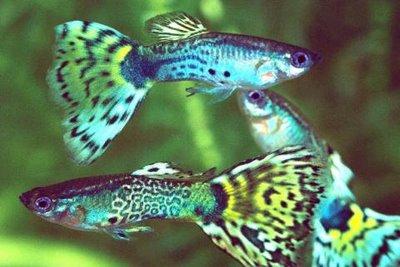 Biologia los guppys for Cria de peces ornamentales