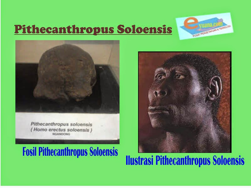 Gambar Manusia Purba Pithecanthropus Soloensis