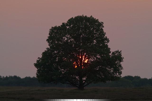 De zon gaat onder achter deze prachtige Eik - The sun sets behind this beautiful Oak Tree