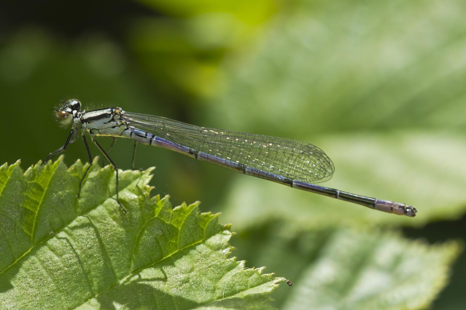 azure damsel flies fly - photo #43