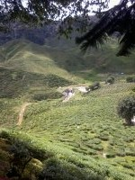 tea, farm, ladang, teh, cameron, highlands, tempat, pelancongan, menarik, malaysia, tanah, tinggi, pahang