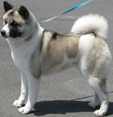 Akita Puppy Pictures and Information