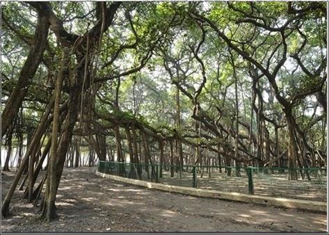 Pohon Raksasa dari India Berukuran 3,5 Hektar