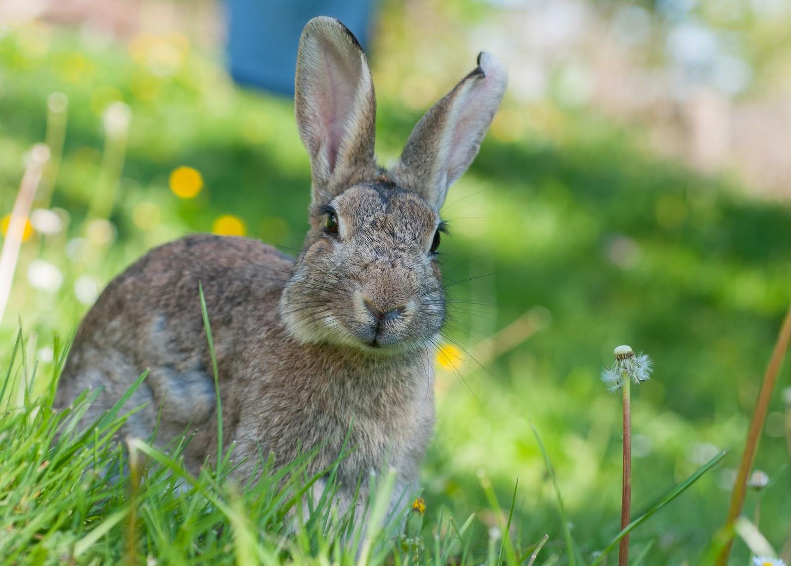 Wild life trip lapin de garenne peu farouche - Cuisiner un lapin de garenne ...
