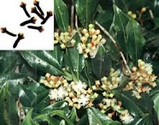 THE MIRACLE OF CLOVES AND CLOVE OIL 1