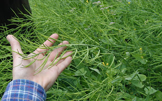 Mustards Plant | Genera Brassica Sinapis