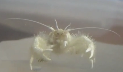 Kiwa Purevida, one of the three yeti crab species