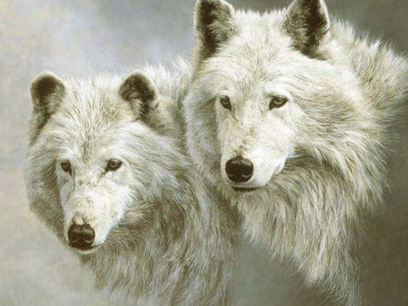 Cool white wolf wallpapers - photo#16