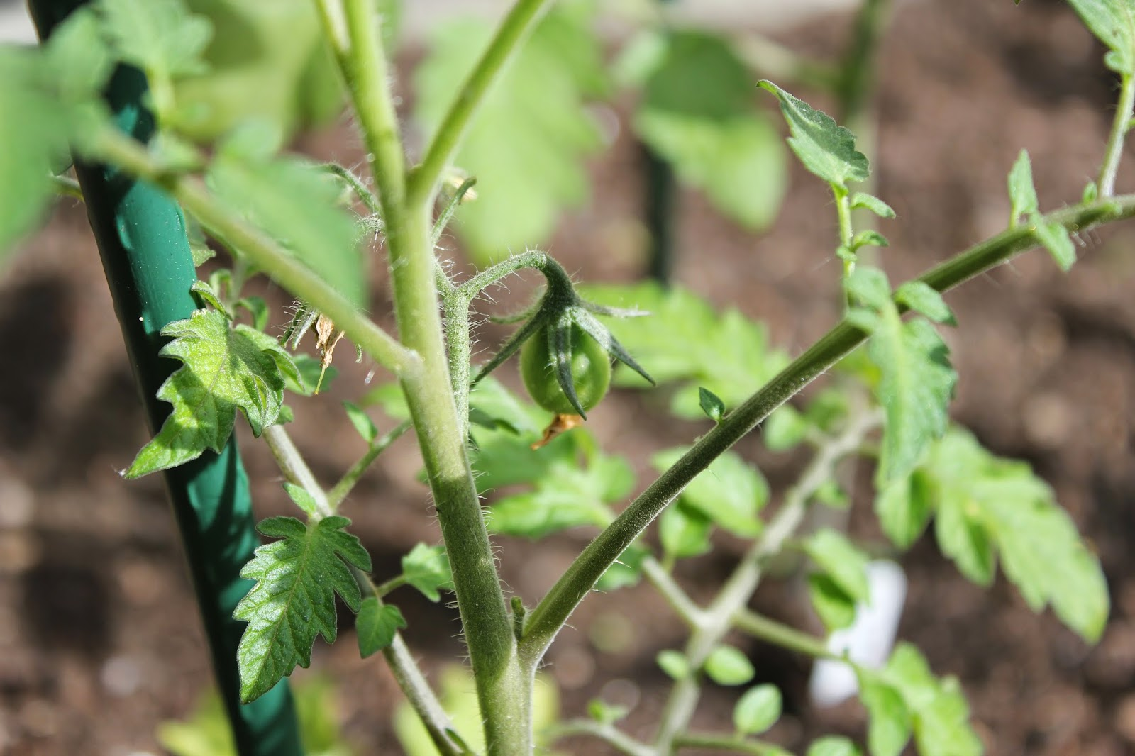 Megan from Delicious Dishings' tomato plants, June 14, 2014