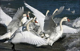 Manada de cisnes