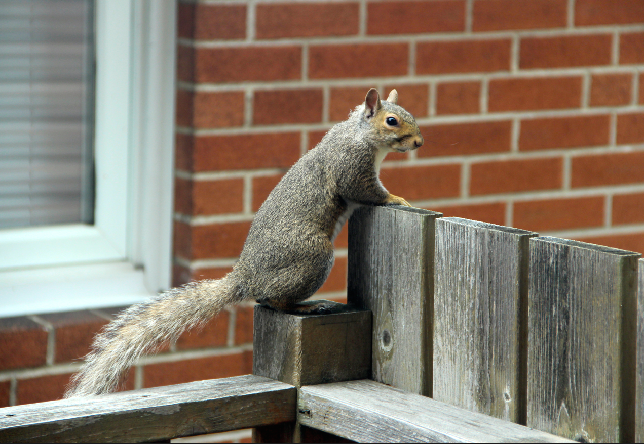 squirrel on my fence