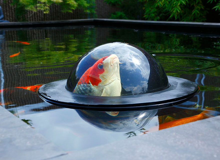Nag on the lake floating see through dome lets fish look at the outside world for Koi fish life span