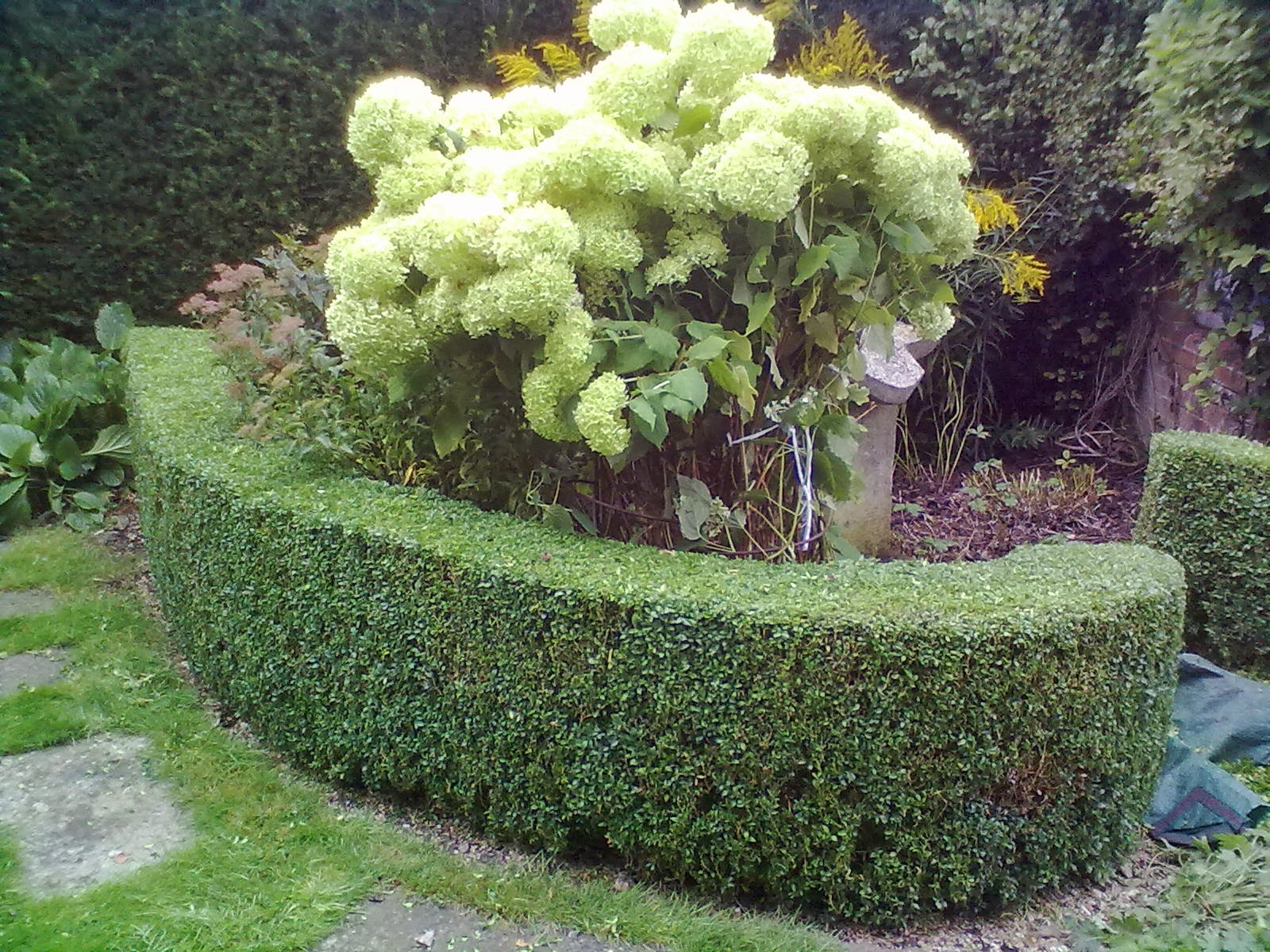 how to cut a hedge top level