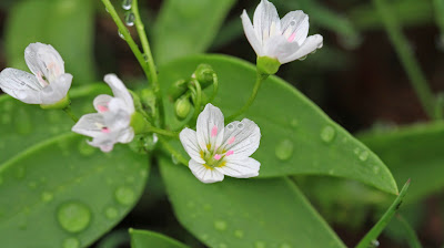 Claytonia lanceolata (Western Spring Beauty)