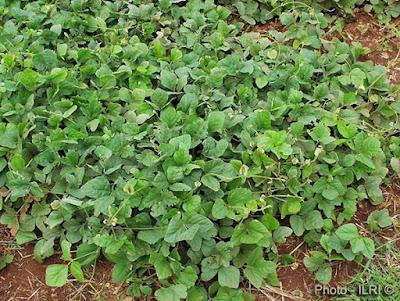 พืชตระกูลถั่ว : เพิ่มไนโตเจนและอินทรียวัตถุให้กับดิน