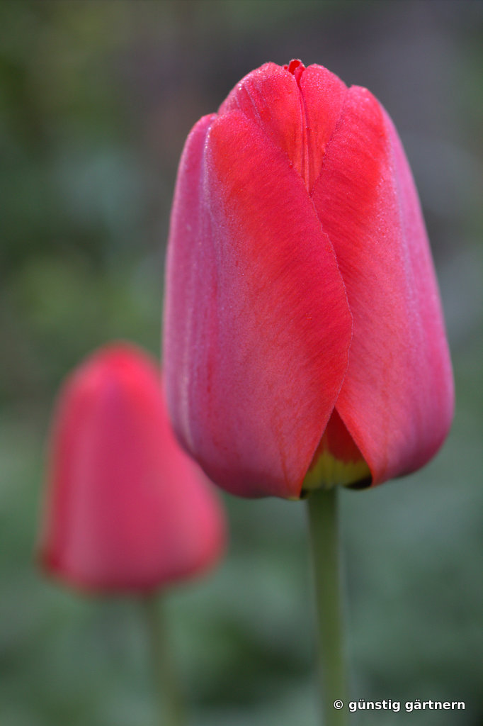 g nstig g rtnern der name der tulpe. Black Bedroom Furniture Sets. Home Design Ideas
