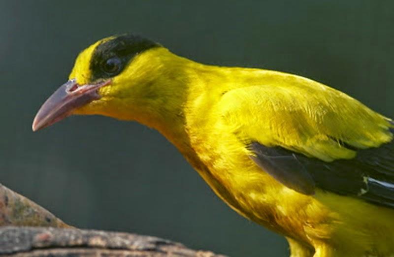Foto Burung Kepodang Jawa Terbaik