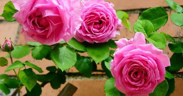 Arte y jardiner a rosales bourbon for Jardineria rosales