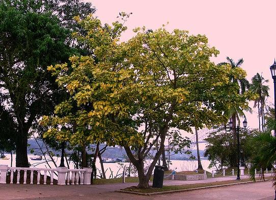 Immortelle erythrina variegata flore de l le de la for Entretien jardin reunion