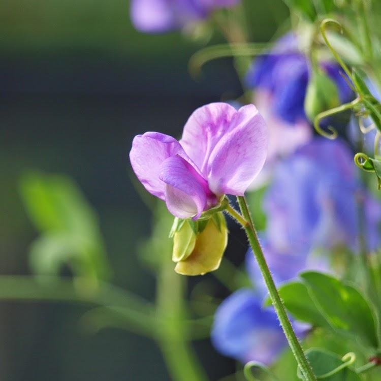 Duftenes dronning i haven er Lathyrus