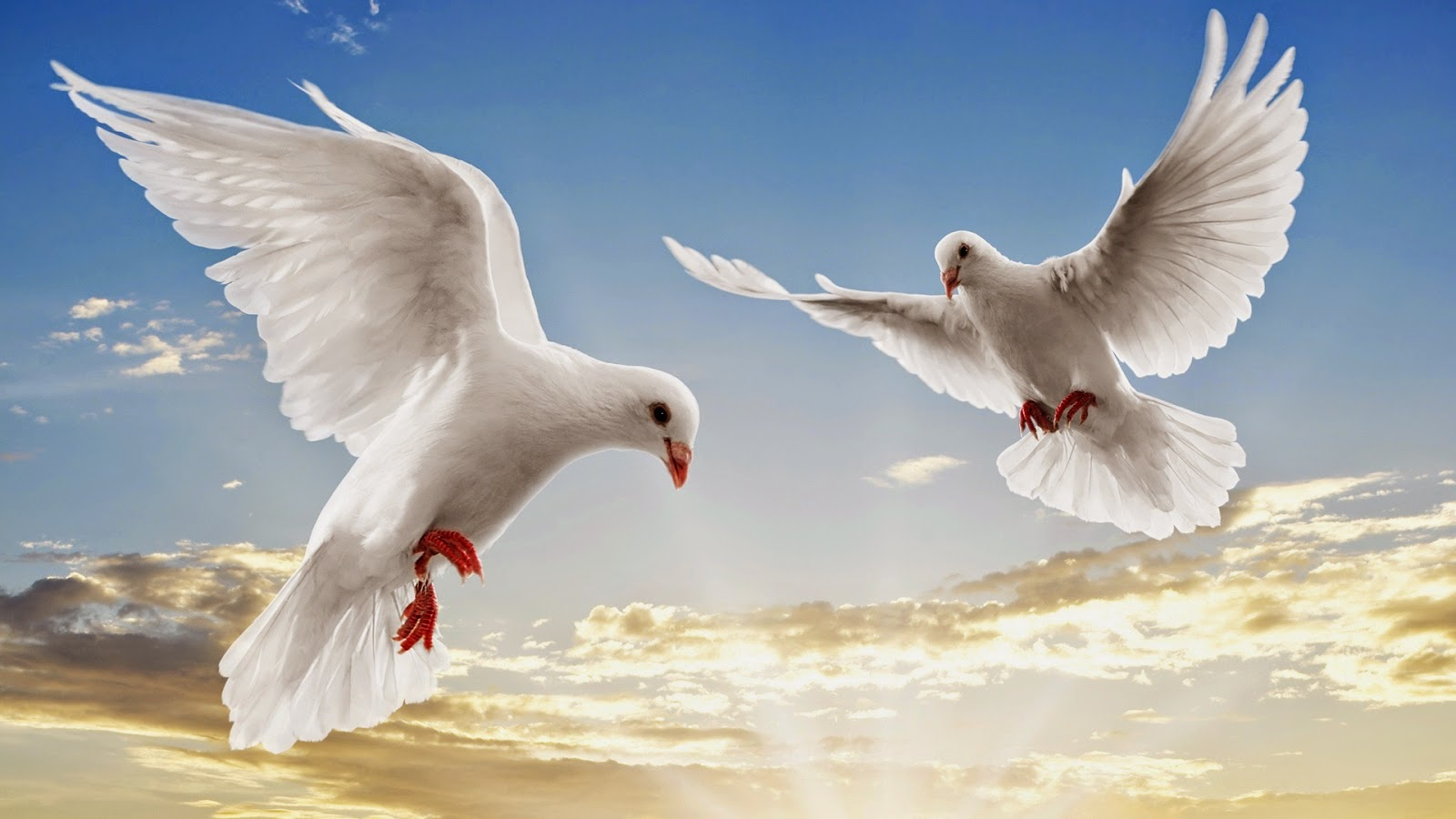 dove wallpapers hd beautiful wallpapers collection 2014