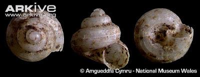 Cyathopoma Cyathopoma picardense