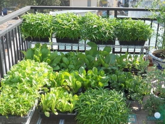 Vườn rau sân thượng với chậu nhựa đen