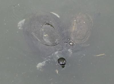 Batagur affinis and Heosemys grandis
