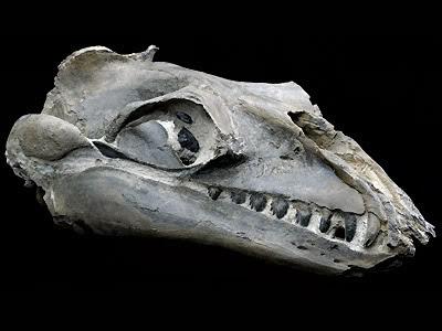 Janjucetus skull