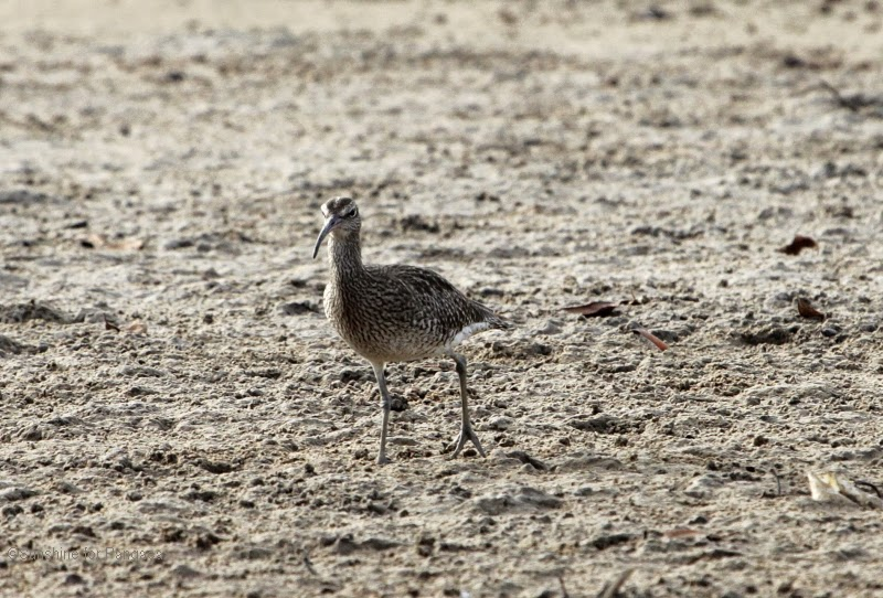 Whimbrel in The Gambia