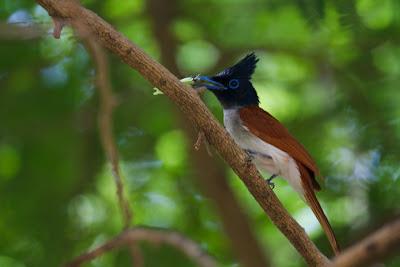 Ceylon Paradise Flycatcher (Terpsiphone paradisi ceylonensis) - Anuradhapura, Sri Lanka