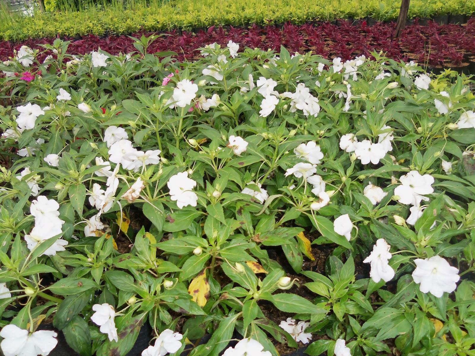 Vivero rojas florez for Que es un vivero de plantas ornamentales