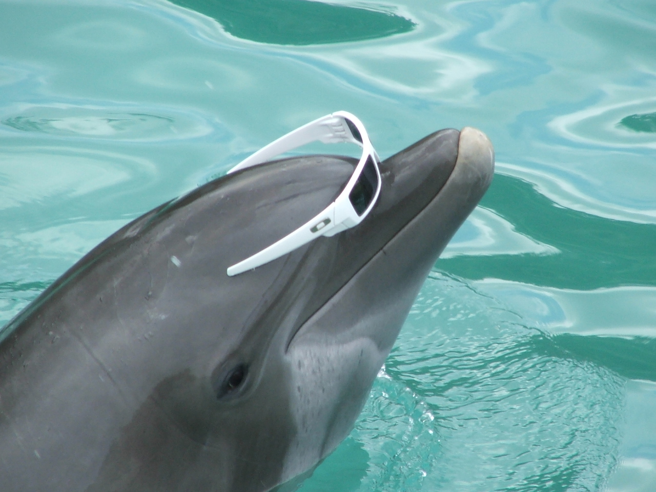 dolphin cove jamaica beta our mischievous dolphin. Black Bedroom Furniture Sets. Home Design Ideas