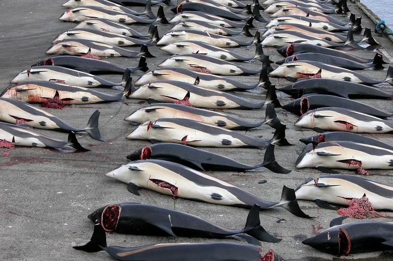 Matanza de ballenas en las Islas Feroe 16