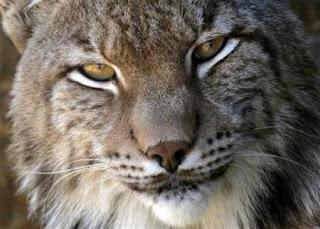 Iberian+Lynx