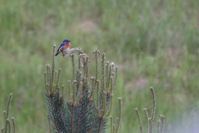 male bluebird in pine tree top