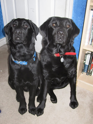 4 month old black lab puppy Romero and his big sister black lab Dallas are sitting in front of a white door in a room with blue walls and cream-coloured carpet. There is a wooden bookshelf on the right of the picture. Romero is wearing a blue Toronto Blue Jays collar, and Dallas is wearing a plain red leather collar. They are sitting right beside each other so that their front paws are touching. Both are looking upwards into the camera. Both have pretty brown eyes, though Dallas' are a lighter shade than Romero's. Although Romero is still a fair bit smaller than Dallas, in this position his head is only about an inch or so shorter than hers - he looks huge!