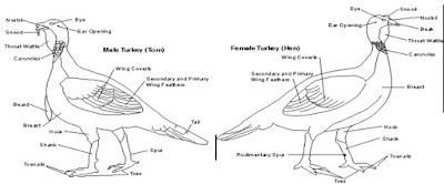 Ciri ciri kalkun jantan dan betina