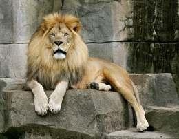 Лев лежит на камне