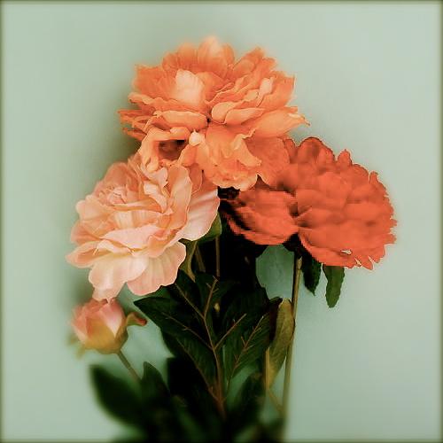 roses Kayla Snell