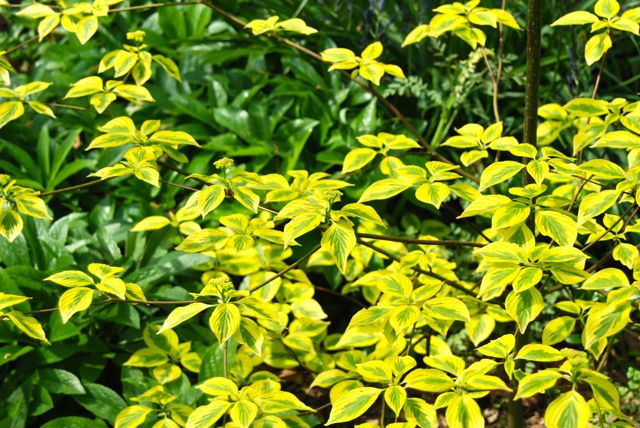 Her golden variegated Pagoda Dogwood (Cornus alternifolia 'Golden Shadows') was really striking in the lower gardens...